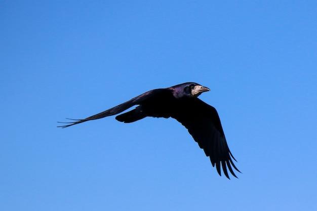 Een zwarte raaf in de lucht