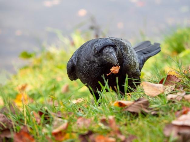 Een zwarte raaf met zijn prooi