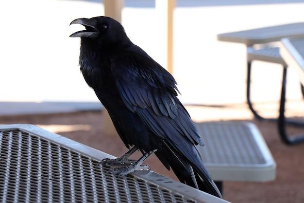 Een zwarte raaf zit op een metalen rail. kraai. vogel