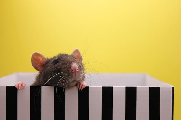 Een zwarte rat gluurt uit de doos. het concept van het jaar van de rat