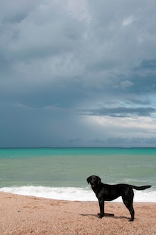 Een zwarte retriever aan het strand