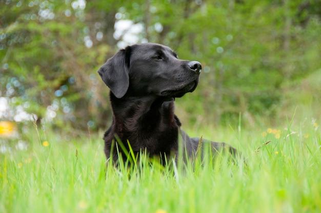 Een zwarte retriever in een veld