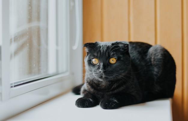 Een zwarte schotse vouwkat met gele ogen.