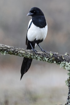 Een zwartsnavelige ekster die op een met mos bedekte tak rust