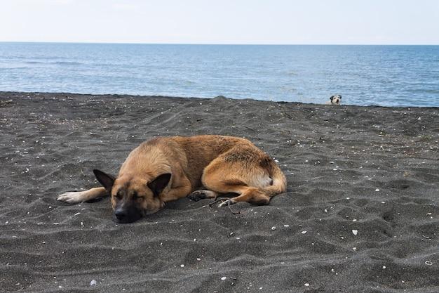 Een zwerfhond slaapt op het zwarte magnetische zand op het strand bij de zwarte zee