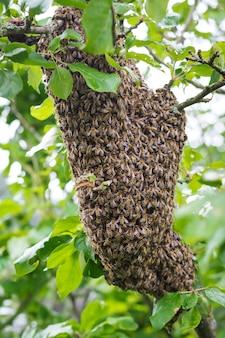 Een zwerm bijen die in een appelboom zitten