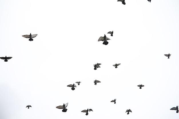 Een zwerm duiven vliegt door de lucht. vogels vliegen tegen de lucht. een grote groep vogels van duiven vliegt door de lucht op een witte achtergrond.