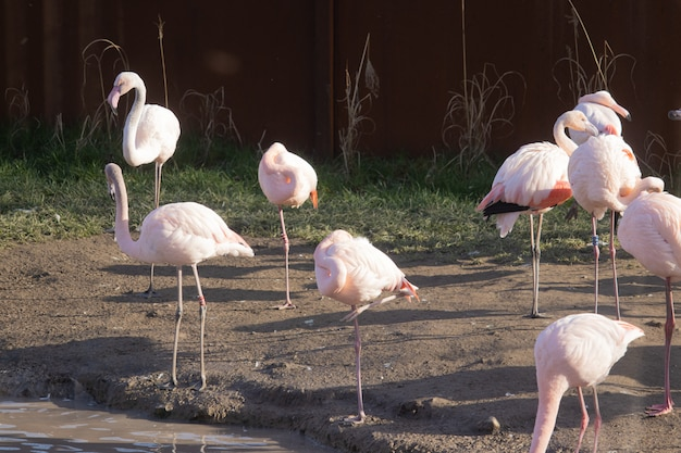 Een zwerm flamingo's die langs de oevers van een vijver in een dierenasiel lopen