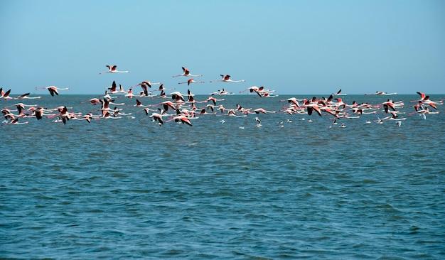 Een zwerm flamingo's vliegt over de middellandse zee in tunesië.