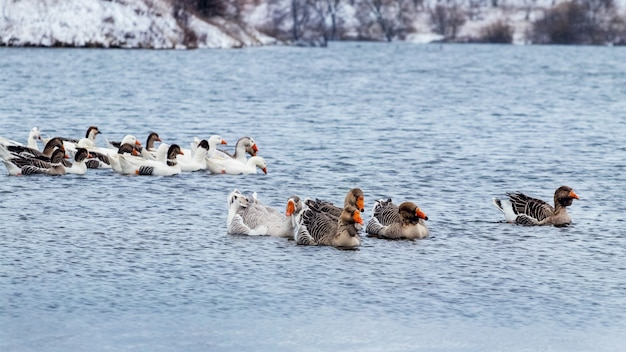 Een zwerm ganzen zwemt in de winter op de rivier