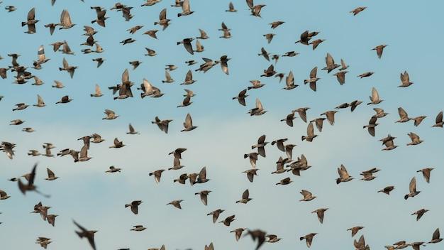 Een zwerm spreeuwvogels in vlucht tegen de lucht.