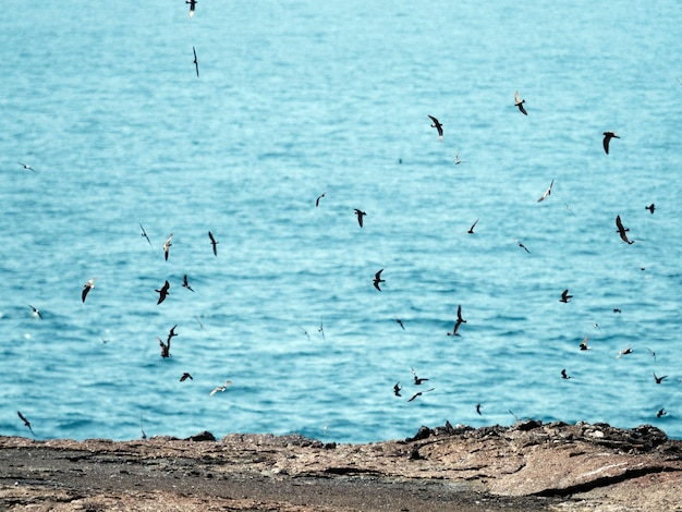 Een zwerm vliegende galápagos stormvogels op de galápagos eilanden, ecuador