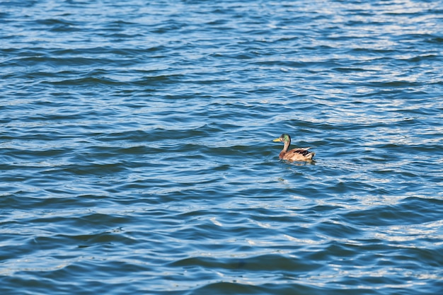 Eend die in stadsmeer zwemt