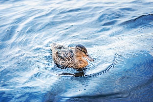 Eend in het blauwe water van het meer op de solovetsky-eilanden