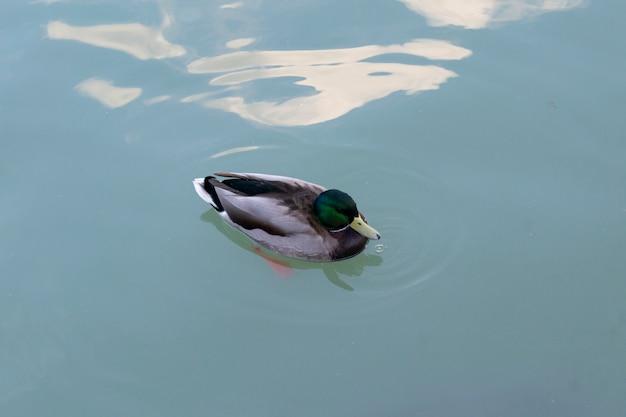 Eend in het water in de vijver van het retiro park