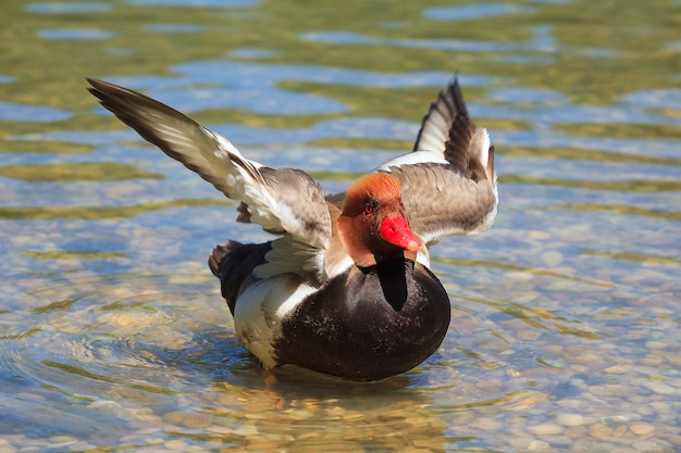 Eend op een meer die vleugels beweegt