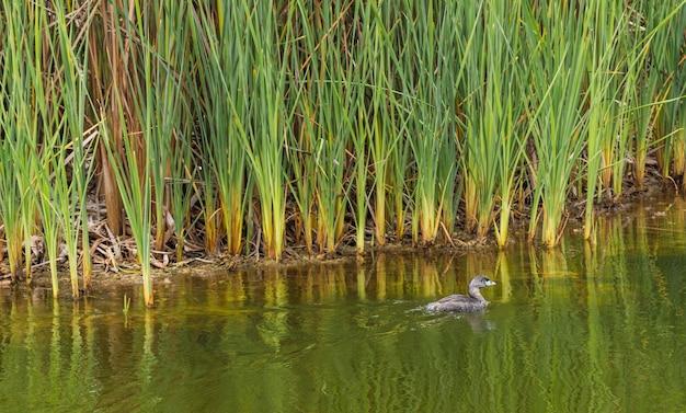 Eend zwemmen in een lagune omgeven door totora vegetatie in pantanos de villa