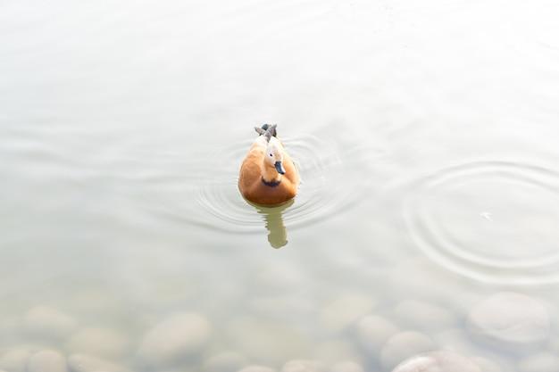 Eend zwemt in de vijver