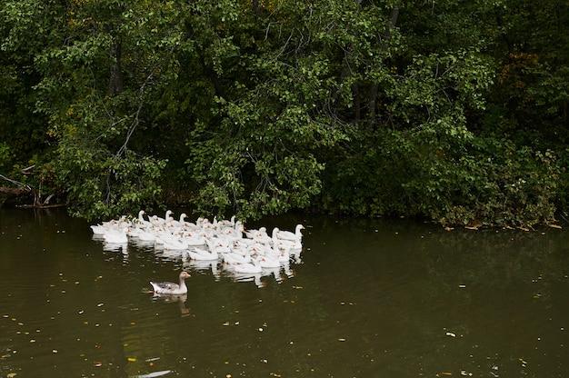 Eenden en ganzen die op meer met ongericht achtergrond zwemmen.