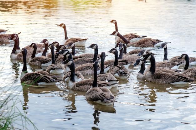 Eenden en veel eendjes die op het meer zwemmen