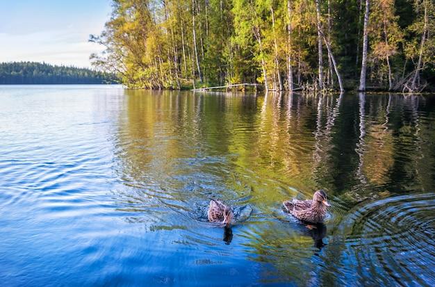 Eenden in het blauwe water van een meer op de solovetsky-eilanden