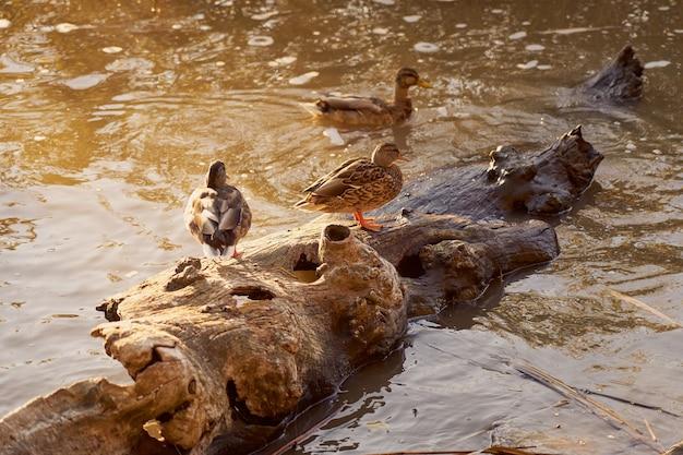 Eenden in het water in de stralen van de ondergaande zon