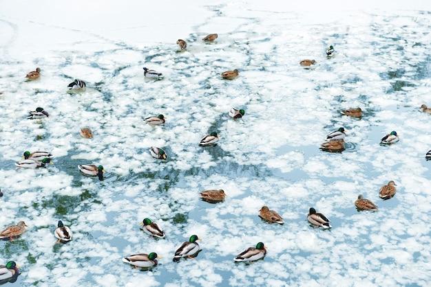 Eenden op bevroren meer in het park