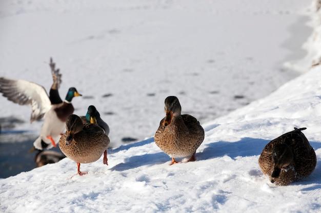 Eenden overwinteren in europa, winterseizoen met veel sneeuw en vorst, eenden leven in de stad bij de rivier, in de winter worden ze gevoed door mensen