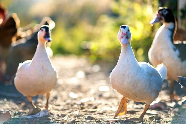 Eenden voeden zich met traditionele landelijke boerenerf. detail van een eendkop. sluit omhoog van watervogel die zich op schuurwerf bevindt. vrije uitloop pluimveehouderij concept.