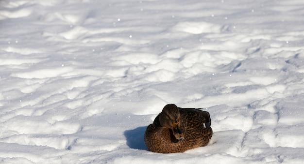 Eenden zitten in de sneeuw in het winterseizoen, koud ijzig weer