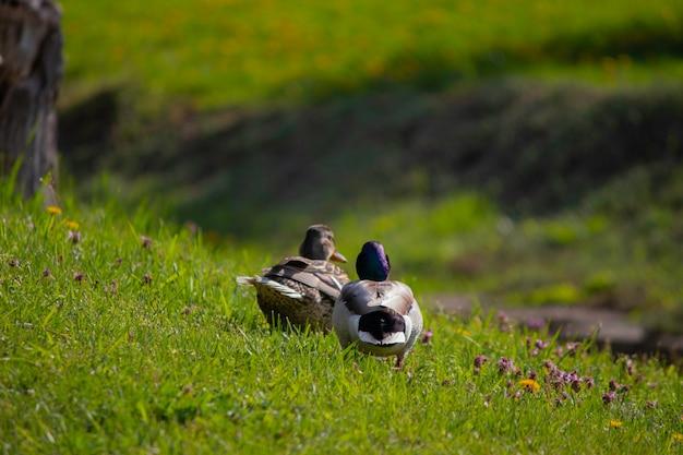 Eenden zonnebaden op een groen grasveld in het voorjaar de eerste warme zon voor eenden