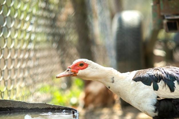 Eendvoeder op traditioneel landelijk boerenerf. detail van een watervogel drinkwater op schuurwerf. vrije uitloop pluimveehouderij concept.