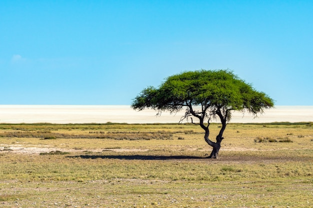 Eenzame acaciaboom (camelthorne) met blauwe hemelachtergrond in etosha national park, namibië. zuid-afrika