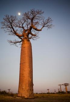 Eenzame baobab bij zonsondergang met de maan op de achtergrond in madagaskar