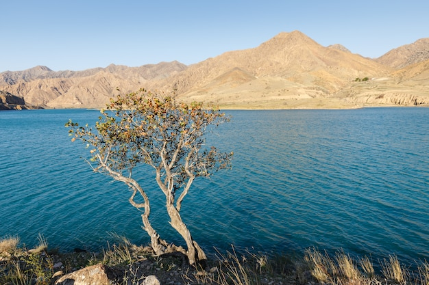 Eenzame boom aan de oever van de rivier de naryn, de rivier de naryn in het tian shan-gebergte, kirgizië