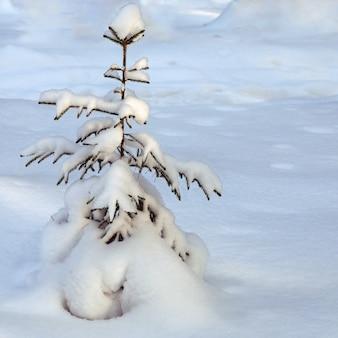 Eenzame dennenboom bedekt met pluizige sneeuw onder de sneeuwbanken, de winterboom