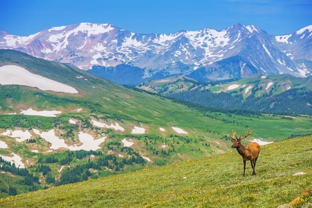 Eenzame elk alpine meadow