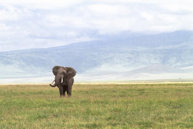Eenzame enorme olifant in de krater van ngorongoro. tanzania, afrika