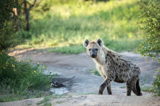 Eenzame hyena die op de weg loopt omringd door groen gras
