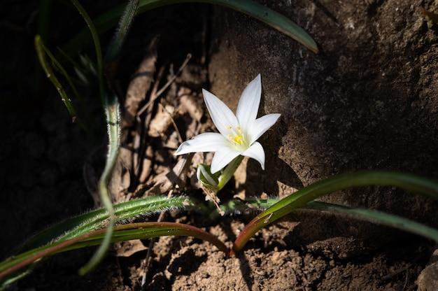 Eenzame kleine witte bloem op een donkere achtergrond lichte bloem in een donker bos