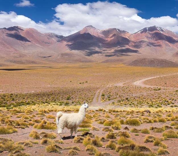 Eenzame lama staat bij vulkanen herfstwoestijn in de boliviaanse altiplano zuid-amerikaplan