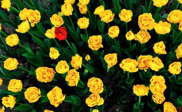 Eenzame rode tulp onder gele tulpen, bovenaanzicht