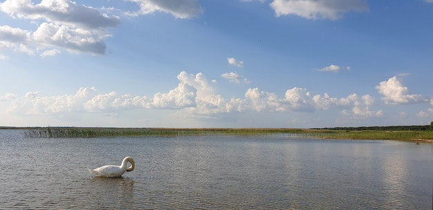 Eenzame sneeuwwitte zwaan zwemt in een schoon, fris meer met een mooie horizon, wolken en blauwe lucht op een zonnige warme zomerdag