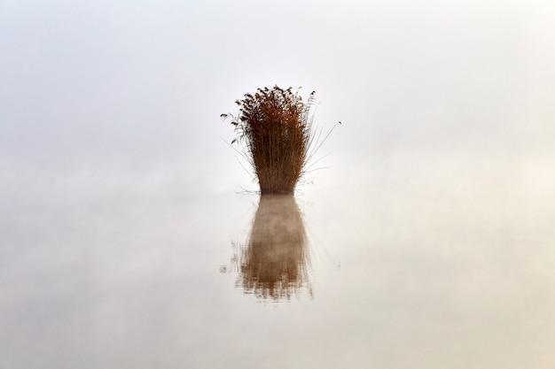 Eenzame struik van riet groeien op het meer