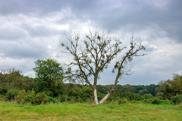 Eenzame verdorde boom tegen bos en dramatische hemel met grijze wolken in de herfstdag