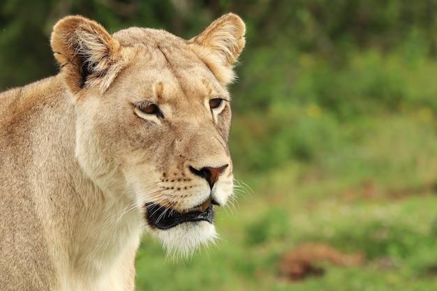 Eenzame vrouwelijke leeuw die in het addonational-park loopt