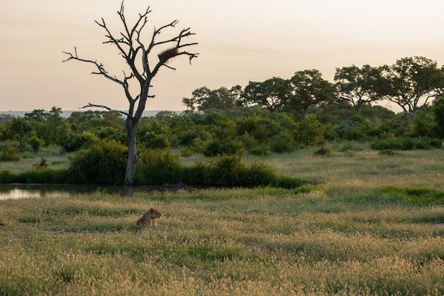 Eenzame vrouwelijke leeuw zit in een veld met een meertje en grote bomen