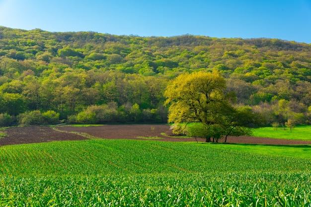 Eenzame weelderige groene boom op boerderij veld