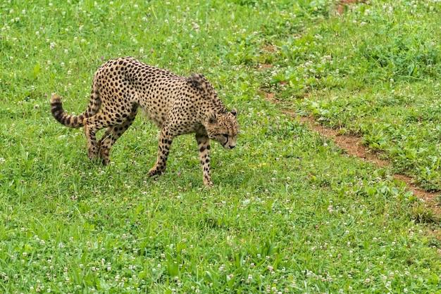 Eenzame wilde jachtluipaard op het gras
