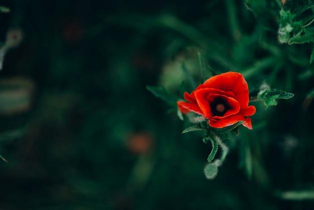 Eenzame wilde papaverbloem in groene gras hoogste mening. zachte focus.